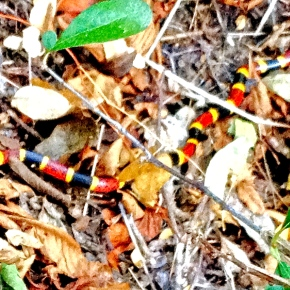 Creature (Dis)Comforts, Part II: CoralSnakes